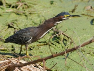 Steve little green heron 2